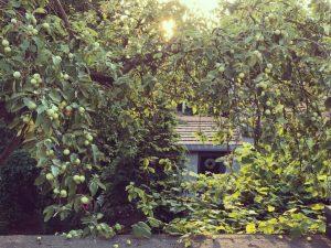 stara jabłoń oliwka inflancka