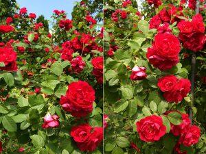 stary ogród róża pnąca Flame Dame