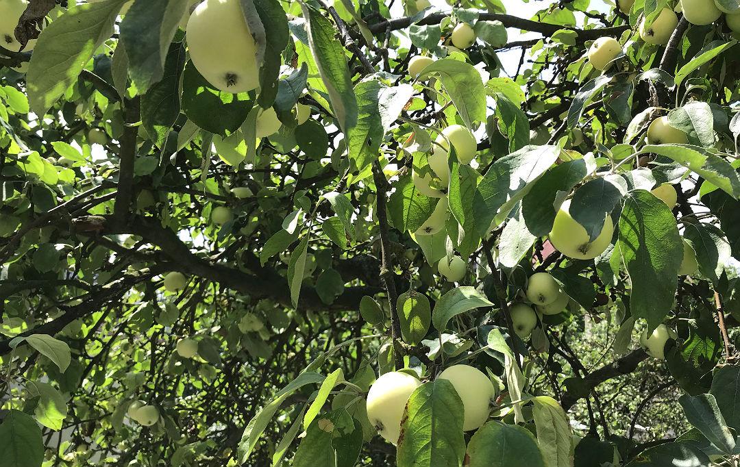 stara odmiana jabłoni