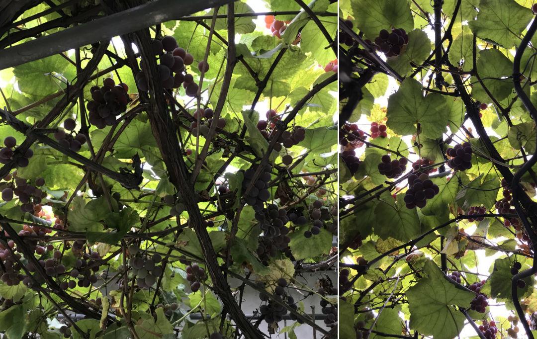 winorośl, prawie jak Francja, jak w Chorwacji