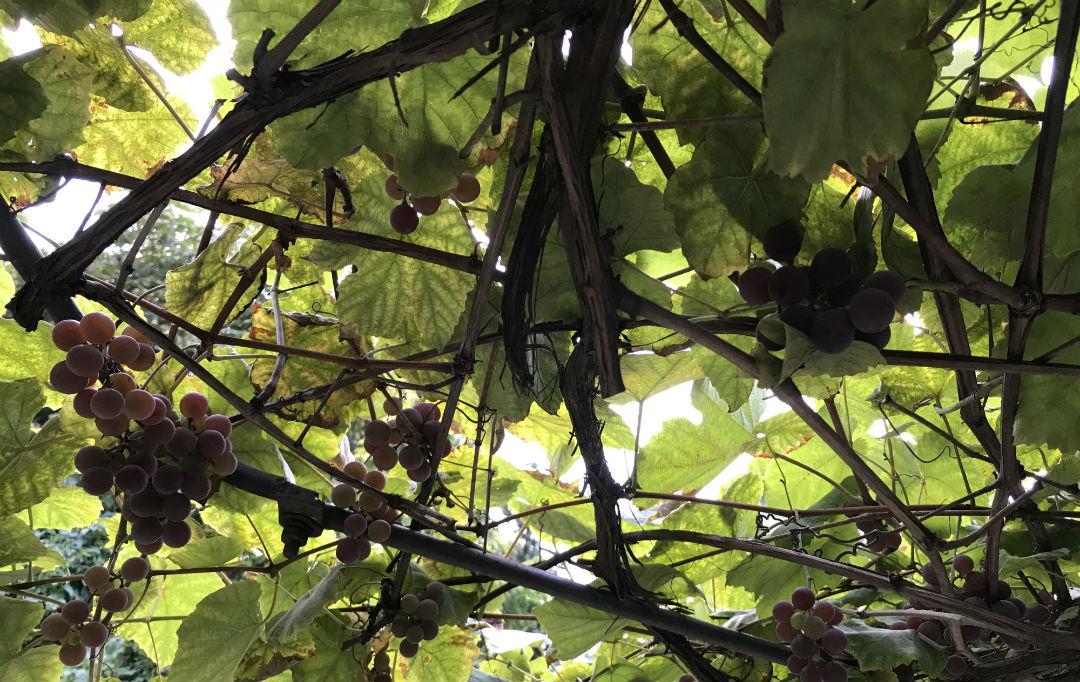 winogron w ogrodzie, uprawa, stary winogron