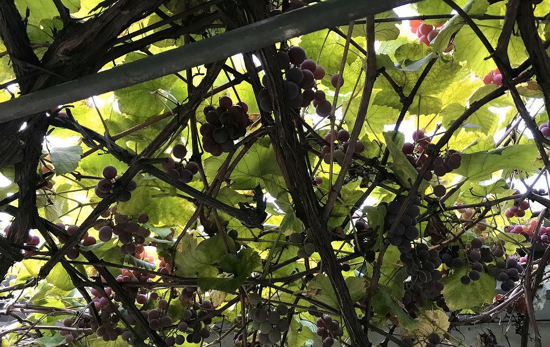 Własne owoce, winogron, uprawa winorośli