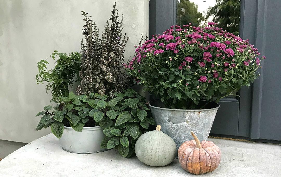 różowe chryzantemy dynie ozdobne pokrzywowe cynkowe balie ogród na jesień ozdoby dekoracje