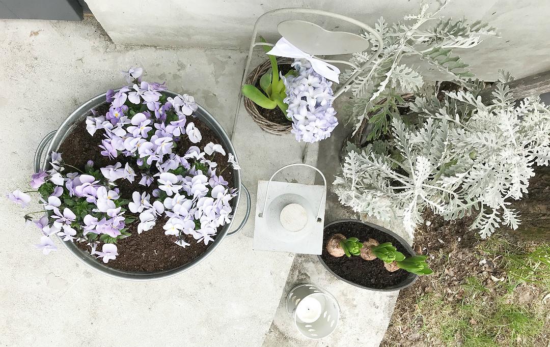bratki drobne bladofioletowe fioletowe hiacynty starzec popielny