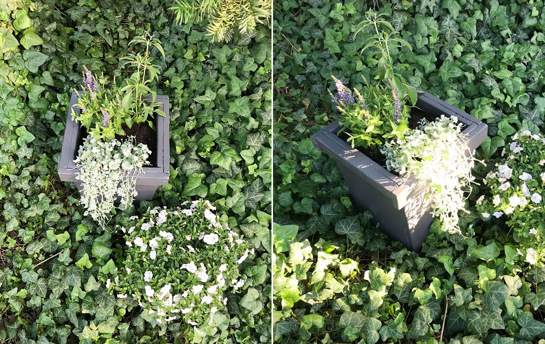 rośliny kwiaty sezonowe jednoroczne kompozycja w donicy na taras szałwia dichondra srebrzysta