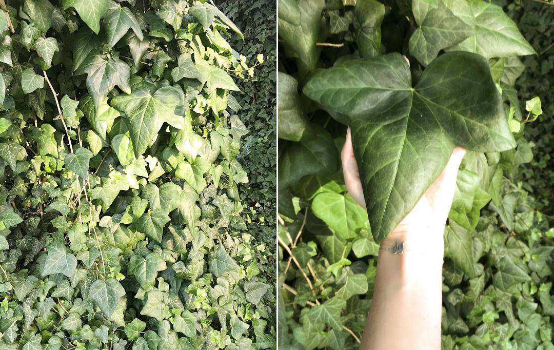 bluszcz gigant pnącza w ogrodzie liść jak dłoń