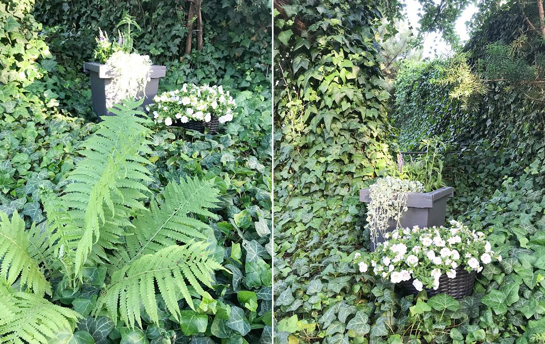bluszczowe ściany ekrany z bluszczu tajemniczy ogród