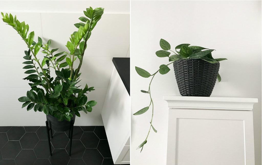 zamia w łazience Epipremnum Pinnatum 'Marble Planet' jakie kwiaty do łazienki