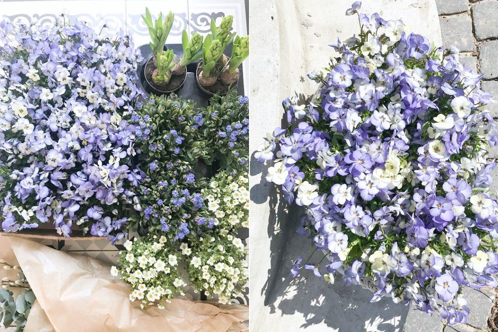 bratki, hiacynty, niezapominajki, piaskowiec, wiosenne kwiaty do ogrodu, wiosenne kwiaty ogrodowe