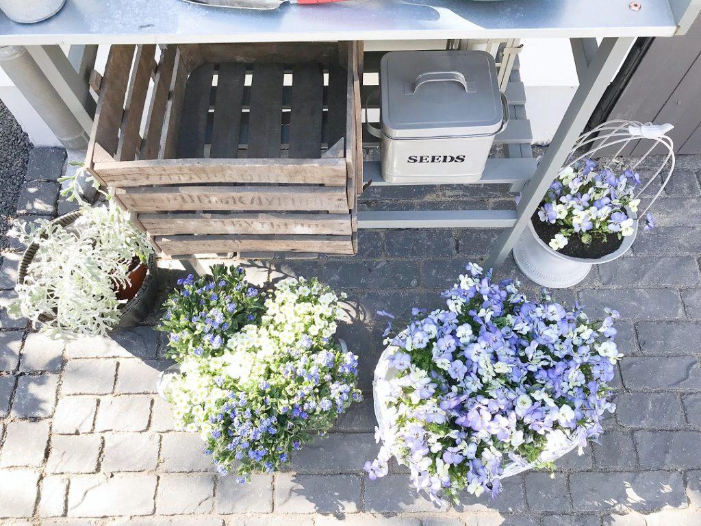 bratki, sadzenie bratków, jak posadzić bratki, wiosenne kwiaty ogrodowe