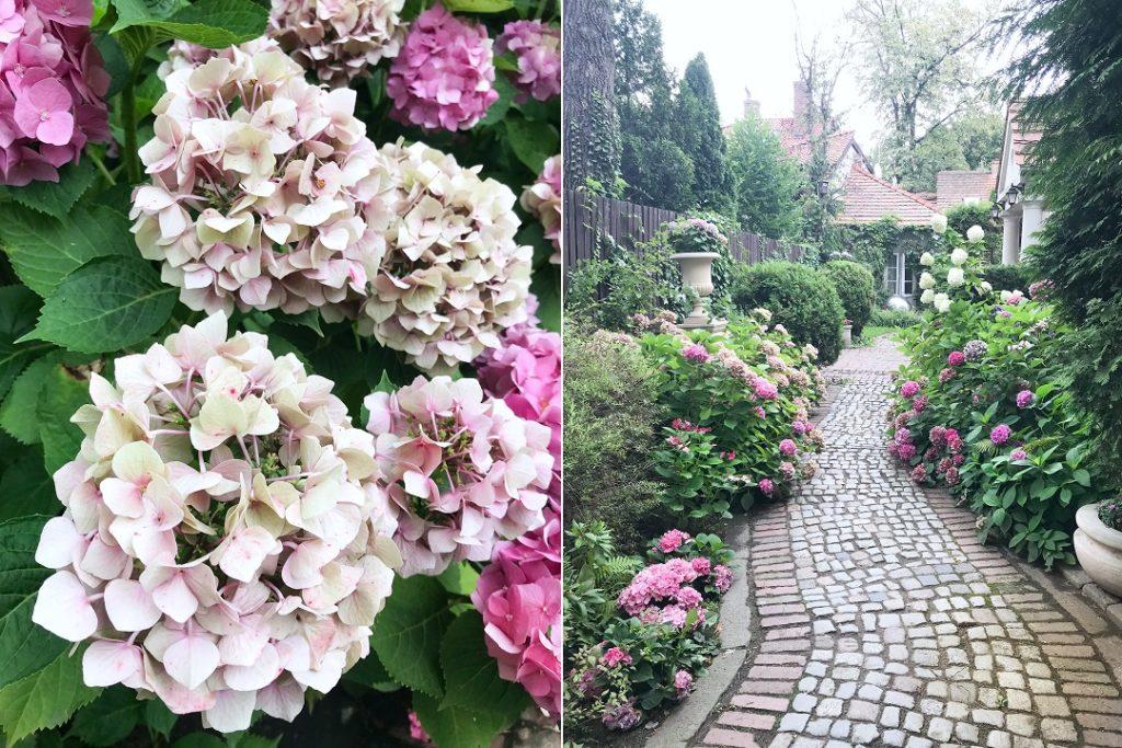 tajemniczy ogród, stylowy ogród, ogród przy starej willi, hortensje ogrodowe, piękny ogród