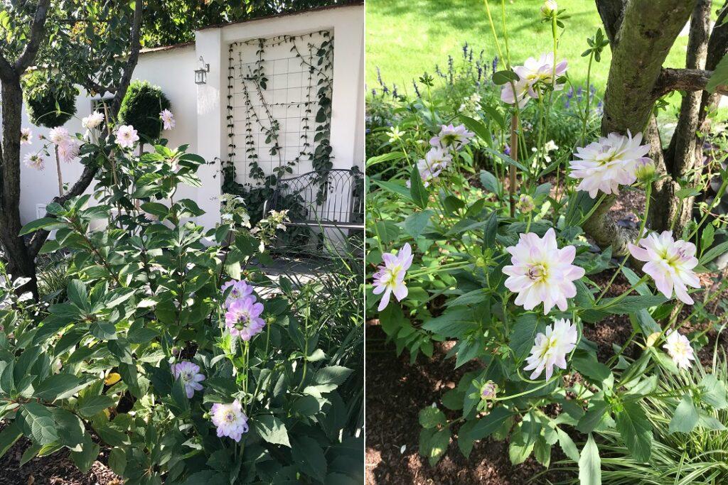 dalia, georginia, kwiaty lata, kwiaty jesieni, romantyczny ogród