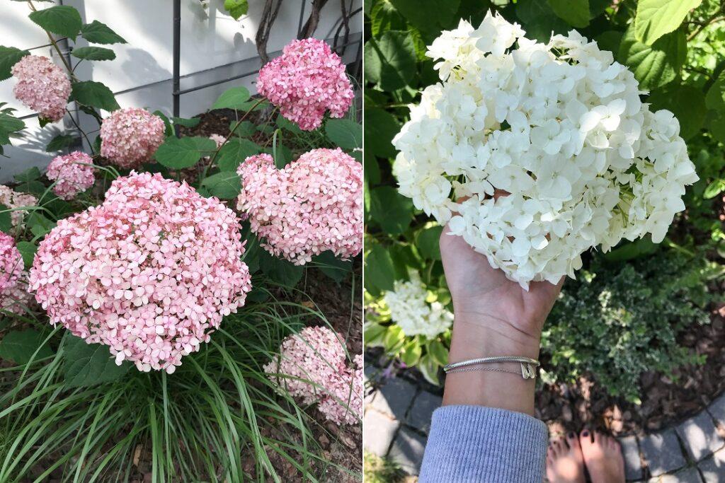hortensje, hortensja drzewiasta, jakie kwiaty warto mieć w ogrodzie