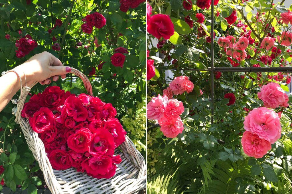 róża, moje róże, stara róża, pergola, kwiaty z ogrodu