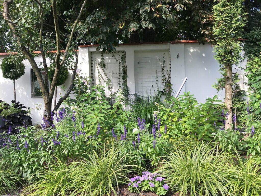 mój piękny ogród, ogrody, ogród, stary ogród, szałwia omączona, szałwia jednoroczna