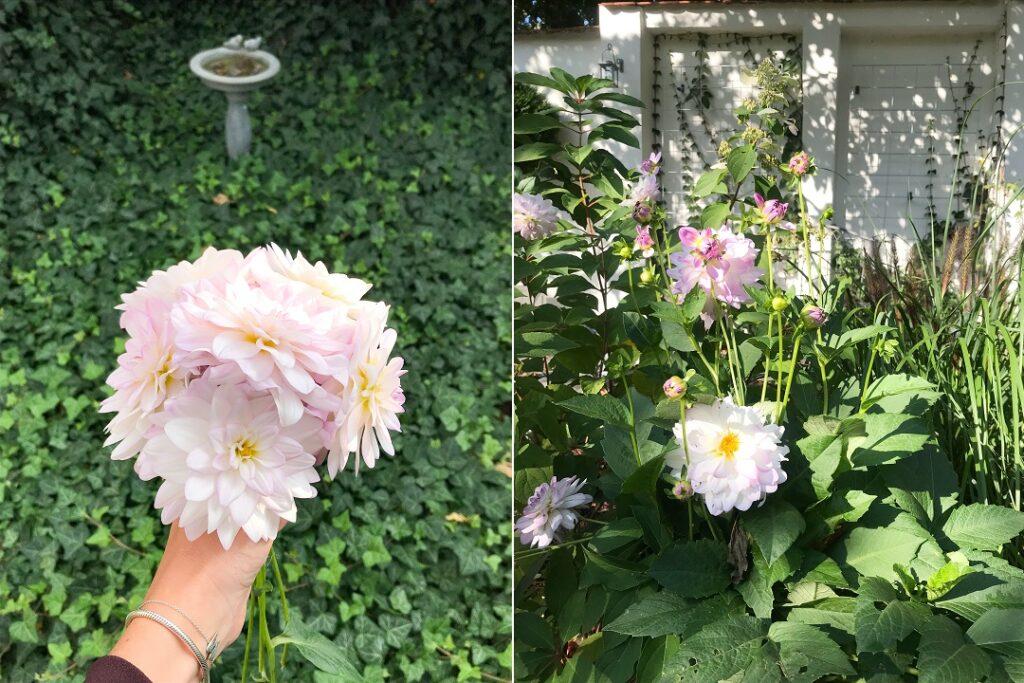 dalia, piękne kwiaty, bluszcz, hedera helix, pnącza do ogrodu, rośliny zadarniające