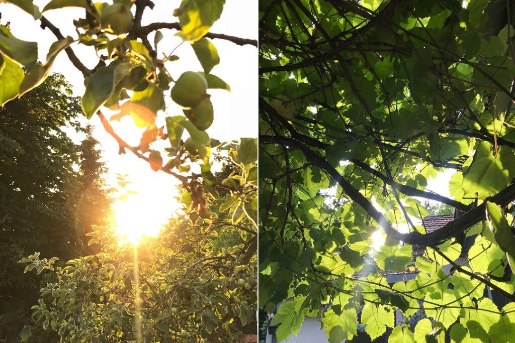 światło, słońce, winorośl, pergola z winogronem, jabłoń, papierówka, papierówki
