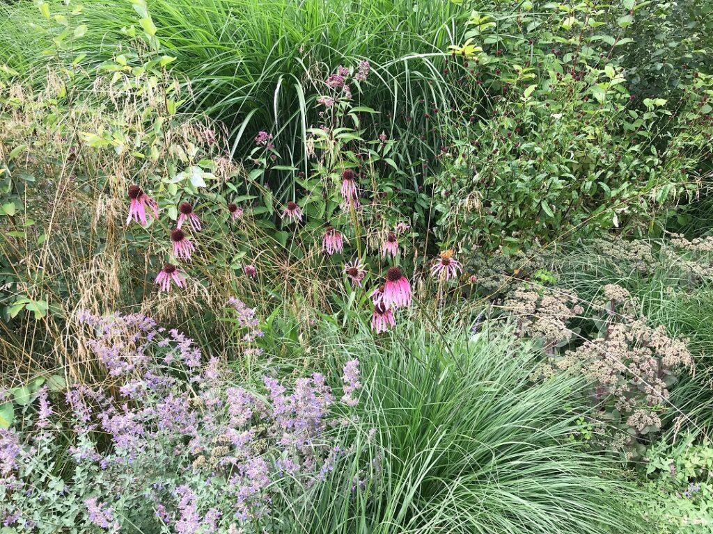 ogród Bellingham, jeżówka blada, kocimiętka, byliny, ogród bylinowy, ogród dla pszczół i motyli, preria