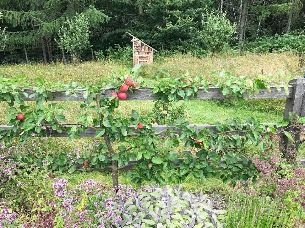 sad, jabłoń, ogród Bellingham