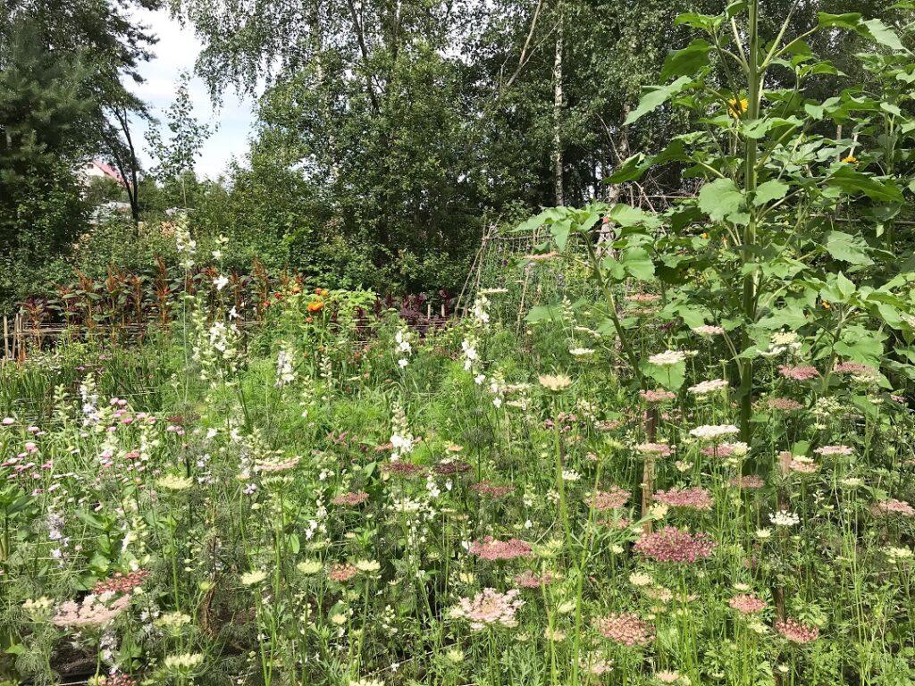 ogród Bellingham, marchew ozdobna