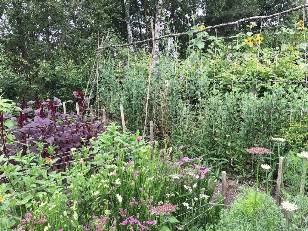 ogród Bellingham, ogród warzywny, warzywnik, ogród pokazowy, ogród z kawiatami ciętymi, kwiaty cięte w ogrodzie uprawa