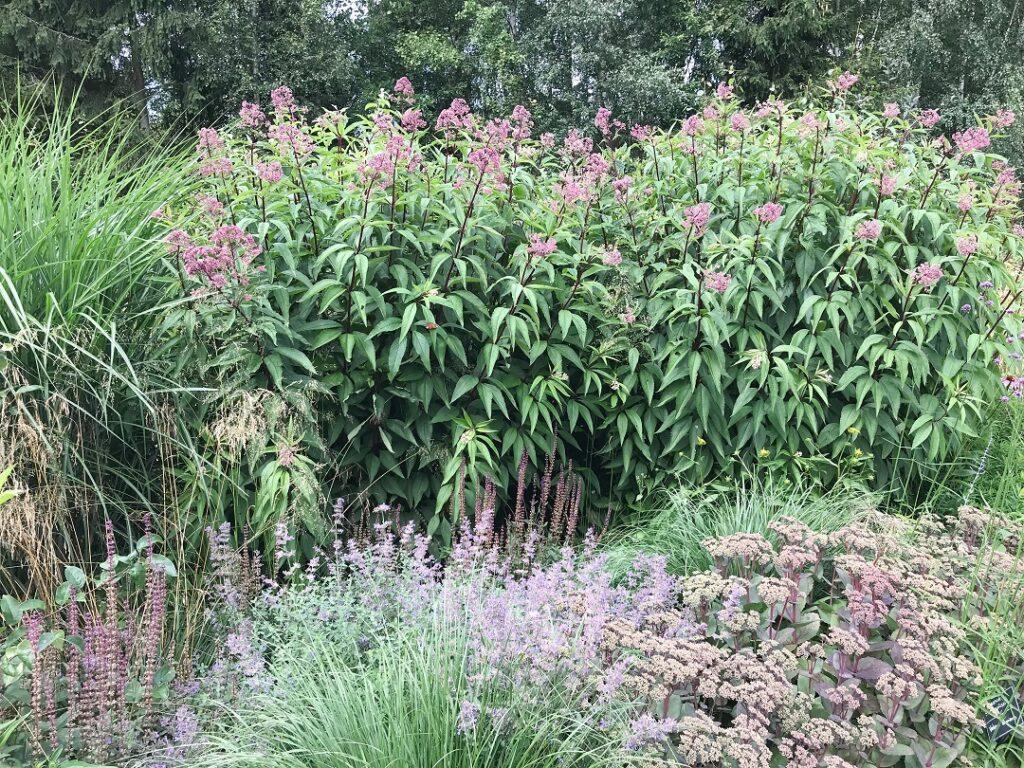 ogród Bellingham, sadziec plamisty, byliny, ogród bylinowy, ogród dla pszczół i motyli, preria